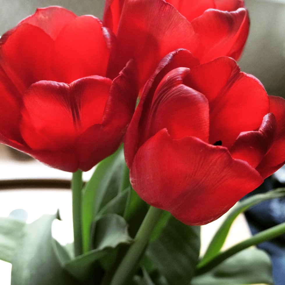 flowers, tulips,colours, red flowers